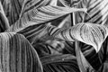 Canna pretoria large textured leaves closeup - abstract black an