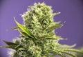 Cannabis cola crown royale marijuana strain with visible hairs Royalty Free Stock Photo
