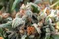 Cannabis crystals trichomes, thc marijuana plant medical Royalty Free Stock Photo