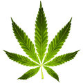 Cannabis leaf green on white background Stock Photo