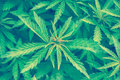 Cannabis marijuana leaf closeup background Royalty Free Stock Photo