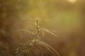 Cannabis (marijuana) plant Royalty Free Stock Photo