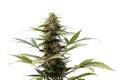 Cannabis plant Royalty Free Stock Photo