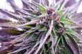 Cannabis plant close-up marijuana leaf