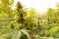 Cannabis plant in golden summer light, marijuana background Royalty Free Stock Photo