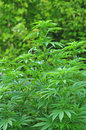Cannabis plant photo of growing outdoors Stock Photo