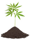 Cannabis plant in soil Royalty Free Stock Photo