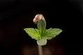 Cannabis sprout dark angel marijuana strain with a seed shell Royalty Free Stock Photo