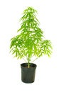 Cannibis plant in a pot isolated on white Royalty Free Stock Photos