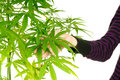 Cannibis plant woman s hand holding the leaves of a Royalty Free Stock Photos