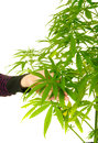 Cannibis plant woman s hand holding the leaves of a Royalty Free Stock Photography