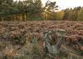 Cannock chase forest brindley heath at sunset in autumn Stock Photo