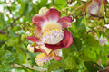 Cannon ball tree flower. Royalty Free Stock Photo