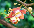 Cannonball flower couroupita guianensis on the tree Royalty Free Stock Photography