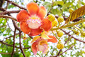 Cannonball flower from the tree couroupita guianensis Stock Photos