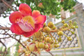 Cannonball flower tree at wat sai temple in bangkok thailand Royalty Free Stock Photography