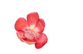 Cannonball flower on white background Stock Images