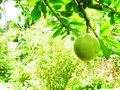 Cannonball fruit the young of tree which is spherical about cm wide the takes up to a year to mature and turns from green to Royalty Free Stock Image