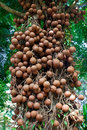 Cannonball Tree Royalty Free Stock Photos