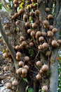 Cannonball tree Stock Photo