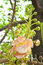 Cannonball tree  : Couroupita guianensisAubl. Royalty Free Stock Photo