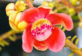 Cannonball tree flower Stock Images