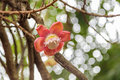 Cannonball tree flower with blury background Stock Images