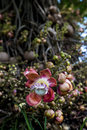 Cannonball tree flower trees beautifully complex and fragrant resemble huge orchids Stock Image