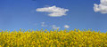 Canola and blue sky flowering suitable as a border or for your copy Royalty Free Stock Photos