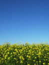 Canola with blue sky vertical Royalty Free Stock Image