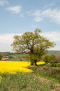 Canola crops in the English summer countryside. Royalty Free Stock Photo