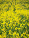 Canola field background Royalty Free Stock Photography