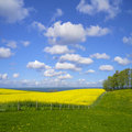 Canola field by the baltic sea beautiful and in background Royalty Free Stock Photos