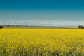 Canola field with barley behind in australia Royalty Free Stock Images