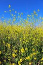 Canola field in bloom in springtime Royalty Free Stock Photo