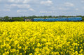Canola field in a bright sunny spring day with a blue train passing in the background steam retro rapeseed Stock Image