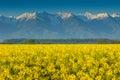 Canola field and high snowy mountains fagaras carpathians romania beautiful rapeseed in transylvania Stock Photo