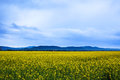 Canola field landscape at dawn Royalty Free Stock Photos