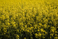 Canola field nature background of colza close up Stock Photography