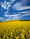 Canola field in the Palouse Royalty Free Stock Photo