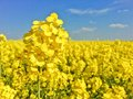 Canola field rape field yellow blue cloudy sky agriculture background spring nature landscap Stock Photography