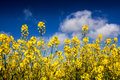 Canola field, Rape field Royalty Free Stock Photo