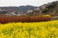 Canola field spring season in hanamiyama Royalty Free Stock Photo