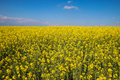 Canola field a on a sunny spring day Stock Images