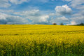 Canola field vibrant rape Stock Photography