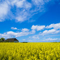 In the canola fields farmhouse with thatched roof a beautiful field Royalty Free Stock Image