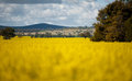 Canola Fields Royalty Free Stock Photo