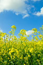 Canola fields under salient sky spring landscape Royalty Free Stock Photos