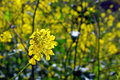 Canola flower in bloom Royalty Free Stock Photo