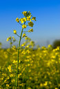 Canola Flower in Field Stock Photos